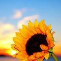 Sonnenblume70